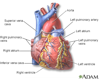 Hie multimedia heart transplant heart front view ccuart Choice Image
